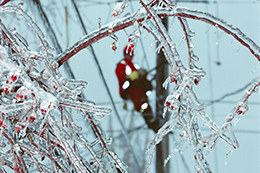 Tree branches covered in ice. A Hydro Ottawa power line maintainer climbs a hydro pole in the distant background.