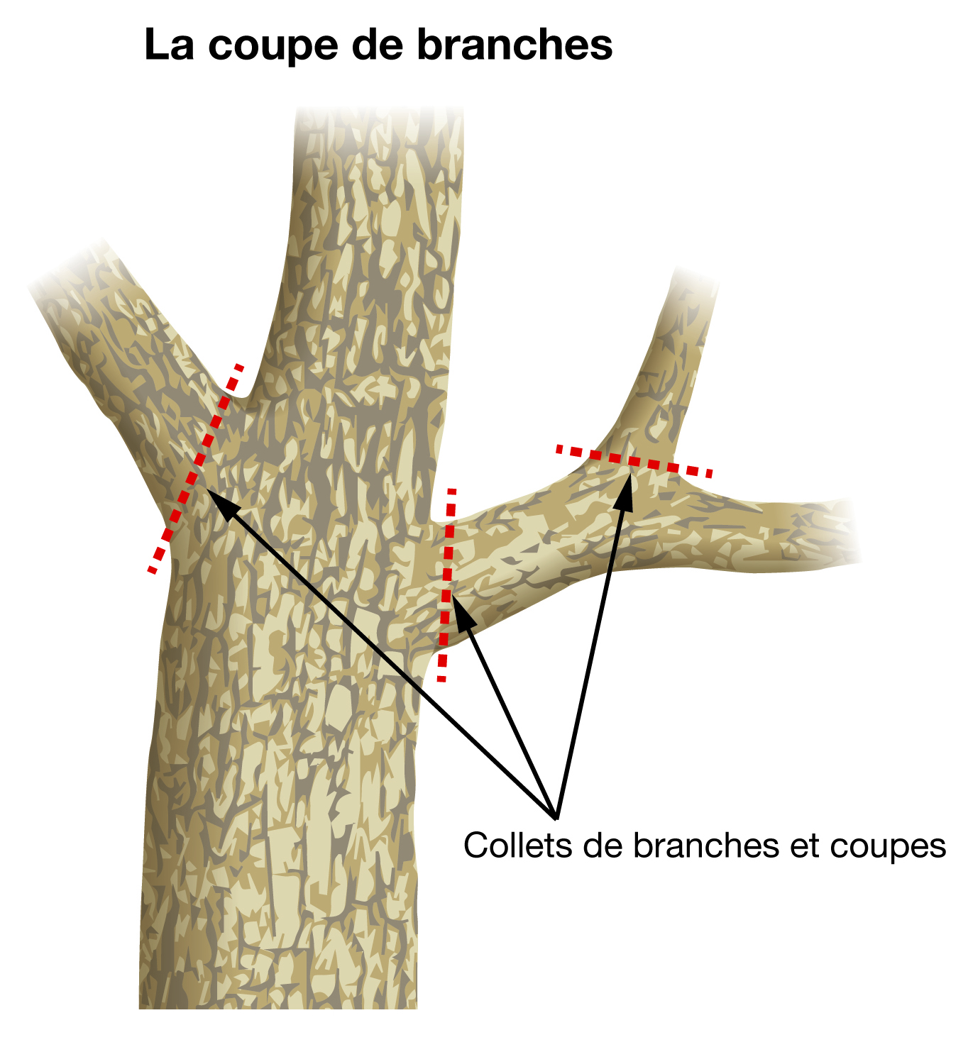 La coupe de branches